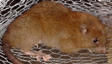 На Соломоновых островах нашли гигантских крыс, которые ранее считались выдумкой аборигенов