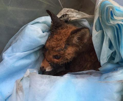 Житель Екатеринбурга спас лисенка, упавшего в гудрон