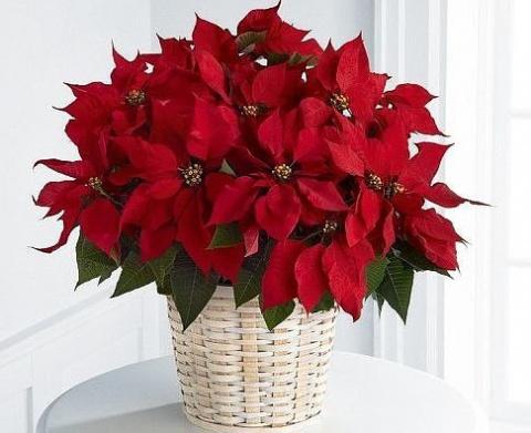 Пуансеттия, еще этот цветок …