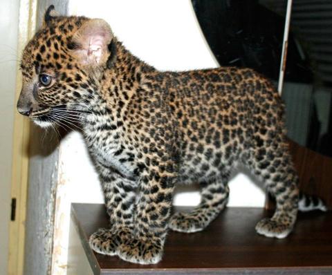 Детёныш леопарда был выставлен напоказ на рождественском обеде. После этого он оказался никому не нужен