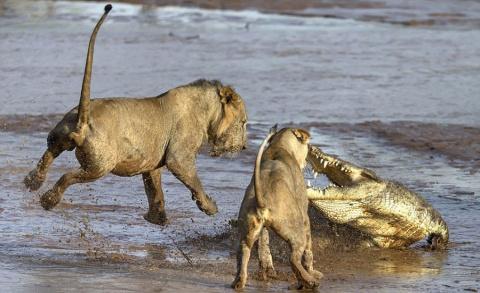 Сражение львов с крокодилом