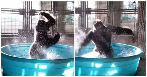 Зажигательные танцы гориллы в бассейне