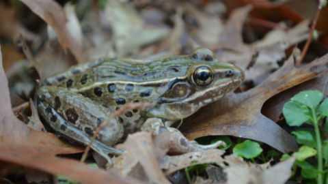 Ученые обнаружили новый вид лягушек в самом центре Нью-Йорка
