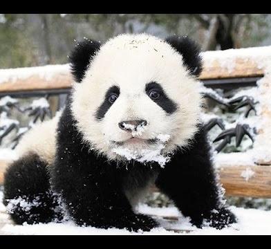 Канадские панды вероломно на…