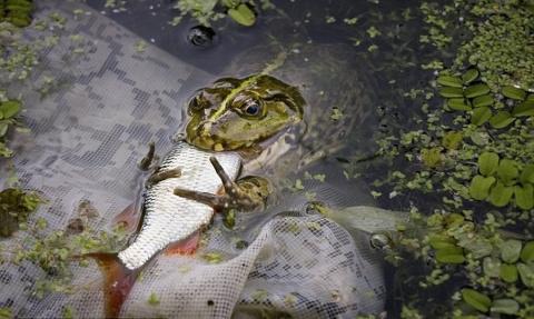Суровые украинские лягушки (3 фото)