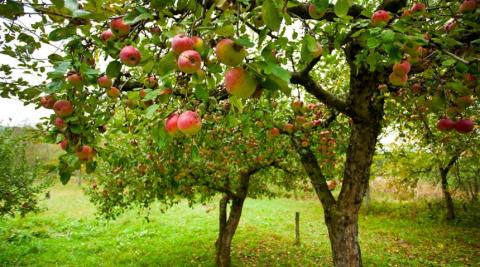 Осенний уход за плодовыми деревьями