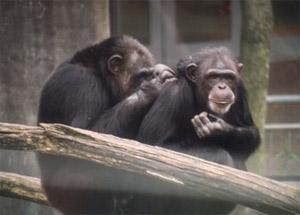 Шимпанзе оказались способны бескорыстно помогать друг другу/ Эксперименты