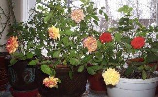 САД, ЦВЕТНИК И ОГОРОД. Розы из букета
