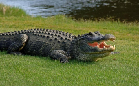 """Гигантский аллигатор """"захват…"""