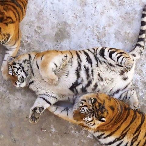 В китайском зоопарке растолс…