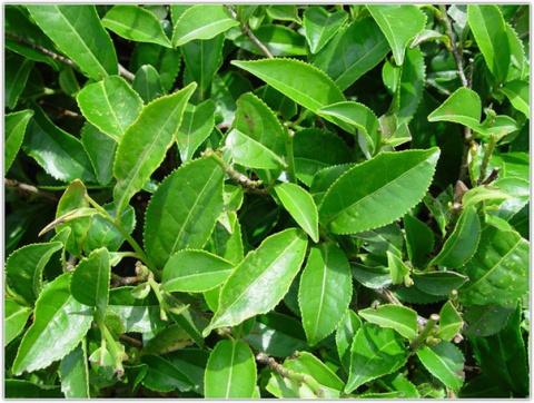 Китайские учёные объяснили пользу зелёного чая