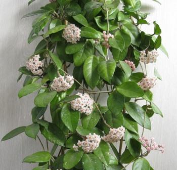 Наши любимцы-цветы: Хойя мясистая или восковой плющ