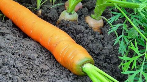 3 главных вопроса о зеленой моркови, или Почему морковь горькая