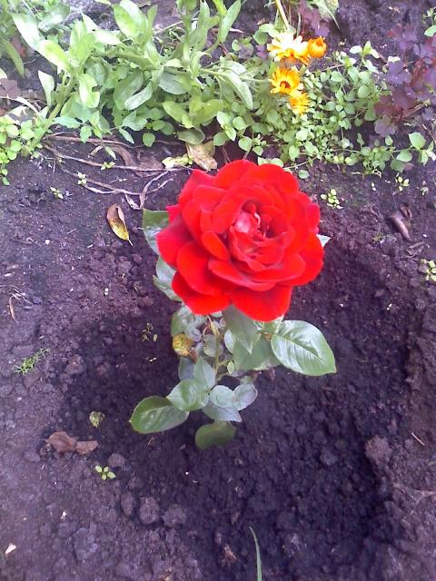 Несколько фотографий моих роз