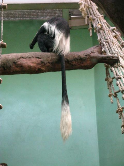 Обезьяны Московского зоопарка. (Фото)