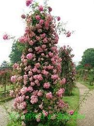 Украшение сада — плетистые розы. Рекомендуемые сорта и особенности выращивания