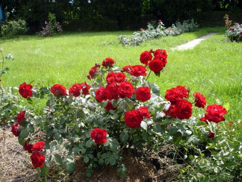 Как спасти розы после неудачной зимовки