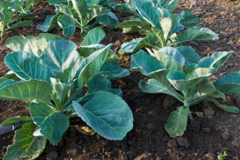 Правильная подкормка капусты