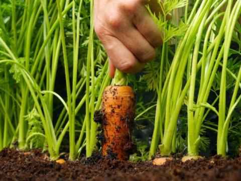 Как вырастить крупную и сладкую морковь