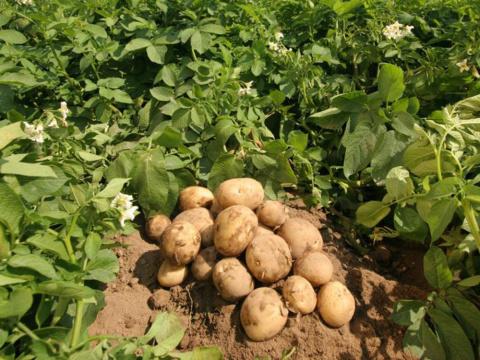 4 эксперимента с картофелем …
