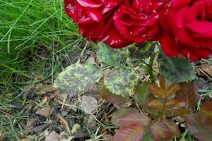 Черная пятнистость и чем лечить эту болезнь роз...