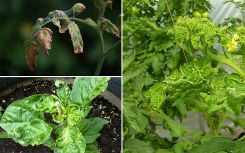 Что делать, если у помидоров и перца скручиваются листья?