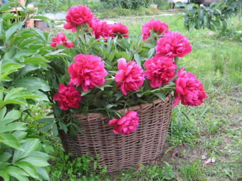 Как выбрать самые красивые и неприхотливые пионы для сада