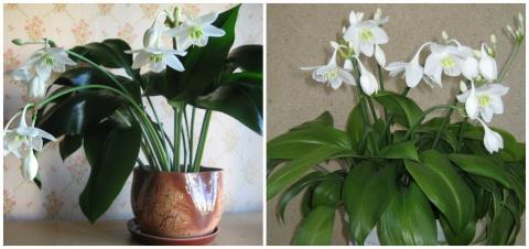 Чудо-раствор, который спасет комнатные цветы