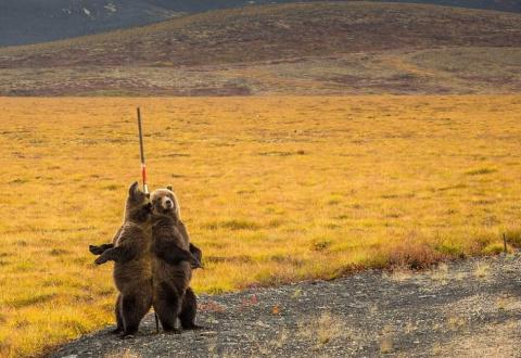 Трутся спиной медведи: гризл…