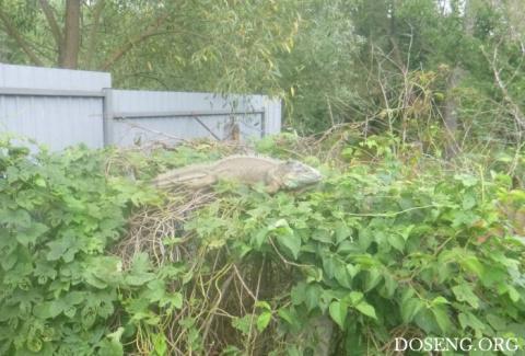 В Киевской области поймали сбежавшую игуану