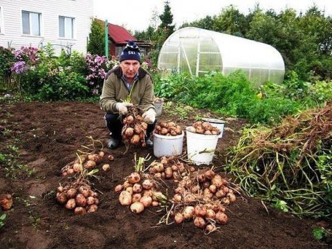 Как с 20-ти кустов собрать 40 ведер картофеля