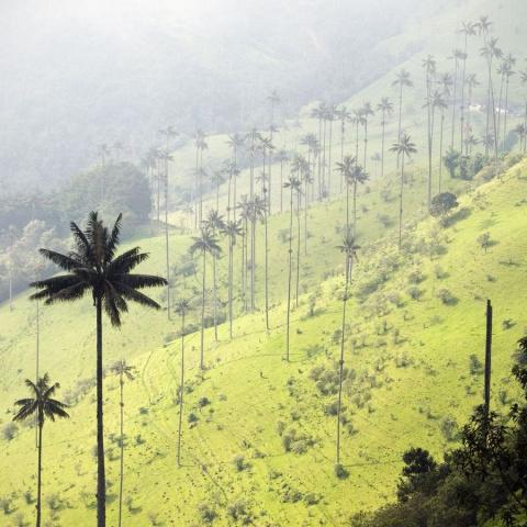 Киндиойская восковая пальма …
