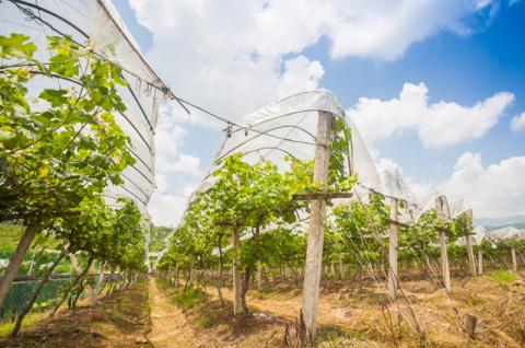 Зачем в Италии виноградники укрывают плёнкой?