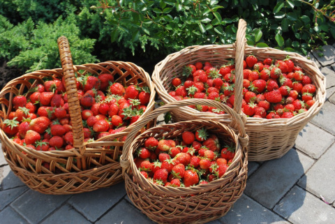Накормите клубнику и она даст вам фантастический урожай!
