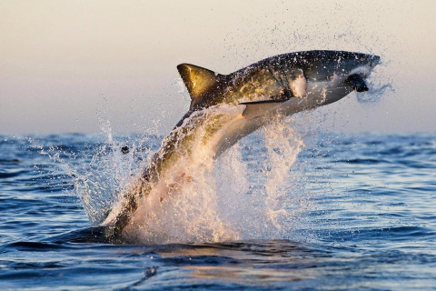 Невероятный момент: большая белая акула выпрыгивает из воды, чтобы поймать тюленя