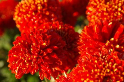 Бал хризантем 2016: крупноцв…