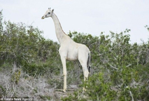 Впервые на видео белые жирафы