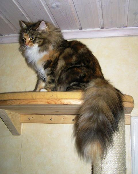 Кошки-красавицы с невероятно роскошными хвостами. Павлин нервно курит в уголке!