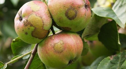 Диагноз по урожаю яблок