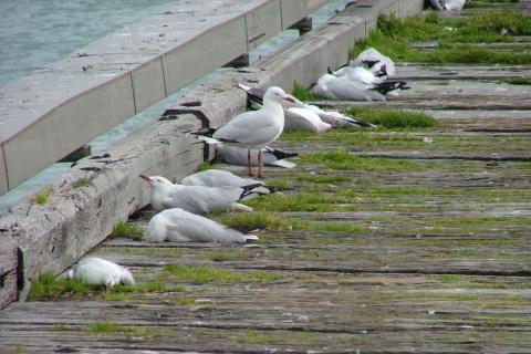 Массовая гибель морских чаек