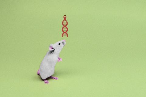CRISPR помог «вырезать» ВИЧ из генома мышей