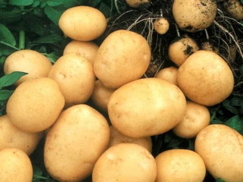 Подогрев почвы для раннего картофеля