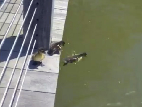 Утята прыгают в пруд вслед за своей мамой