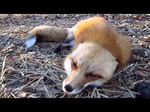 Невероятно общительная лисичка.
