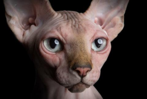 Завораживающие портреты бесшёрстных кошек