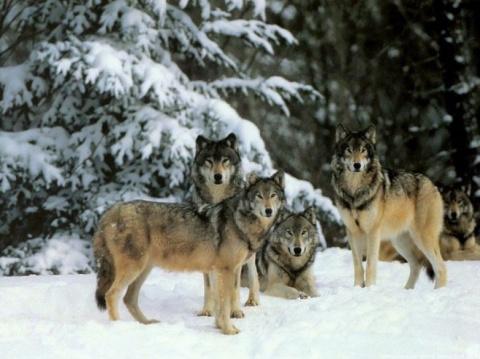 Невероятная история! Стая волков помогала женщине при родах!