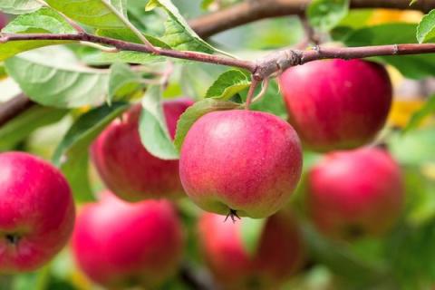 Я спросил у яблони: где же твои яблоки?