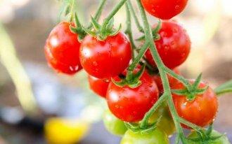 Ампельные томаты: выращиваем…