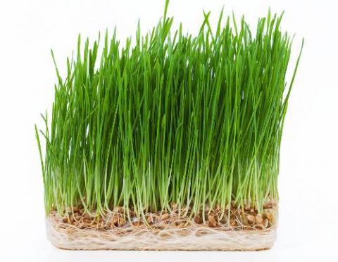 Польза ростков пшеницы для здоровья
