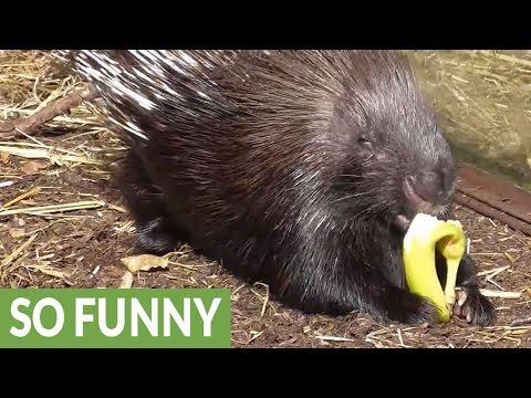 Сурикат ворует еду дикообраза